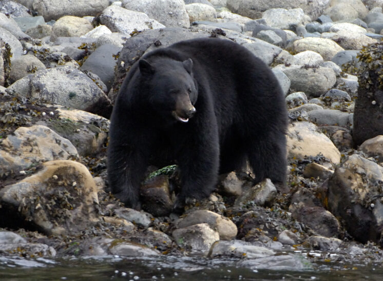 black bear, Inside Passage