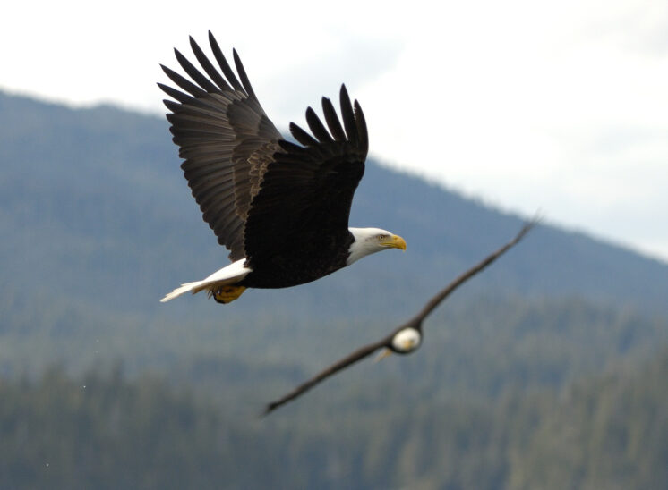 Bald Eagles in flight