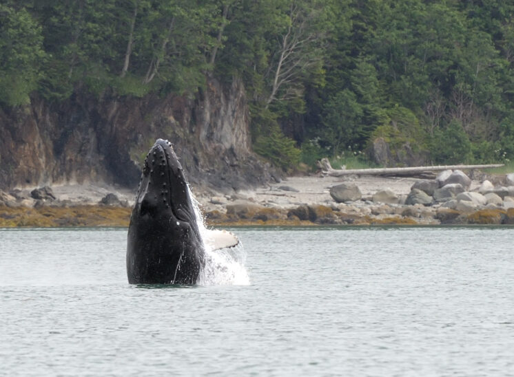 Humpback whale breach!