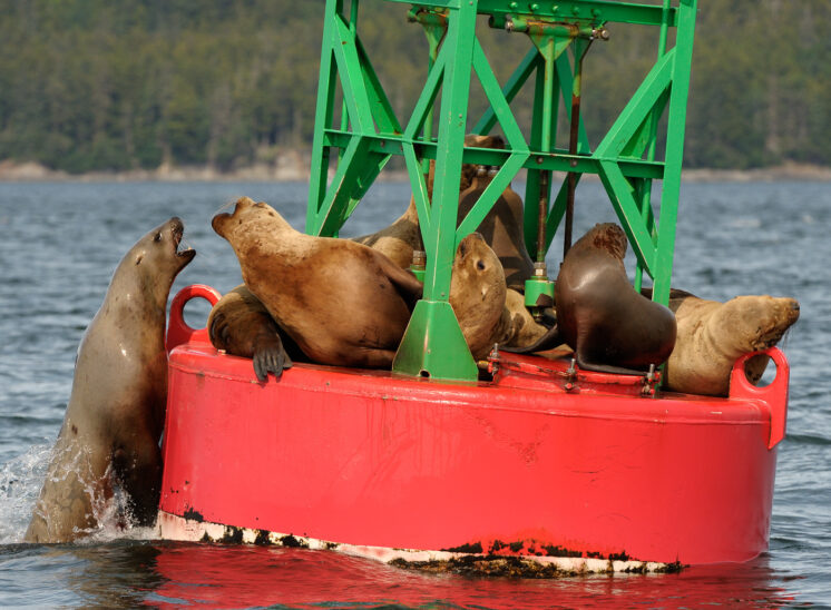 Sea Lion haul-out on buoy